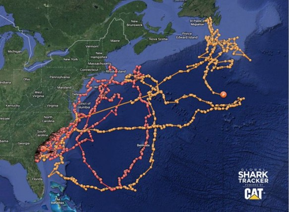migration pattern of the great white shark